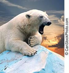 sonnenuntergang, gegen, bär, polar
