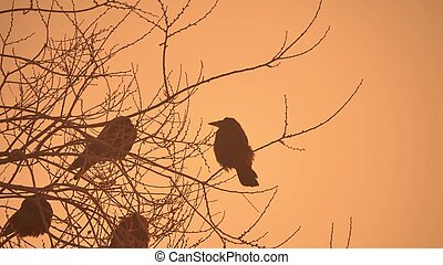sonnenuntergang, krähen, natur, menge vögel, sitzen, auf,...