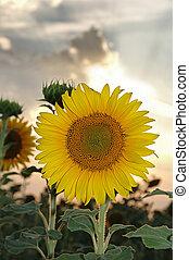 sonnenuntergang, sonnenblume