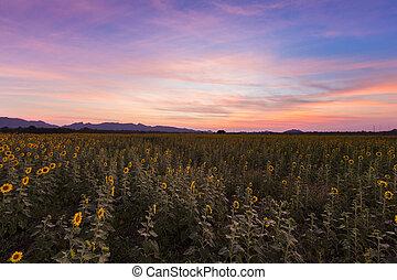 sonnenuntergangshimmel, aus, sonnenblumenfeld