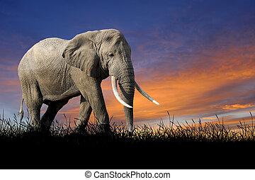 sonnenuntergangshimmel, hintergrund, elefant
