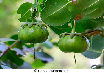 Sonneratia ovate fruit, mangrove tree in the family Lythraceae.