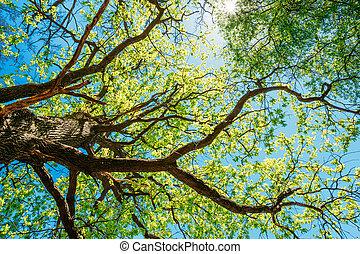 sonnig, baldachin, von, groß, bäume., sonnenlicht, in,...