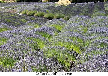 Sonoma Lavender field