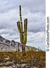 Sonora Desert Arizona Saguaro Cactus San Tan Mountains