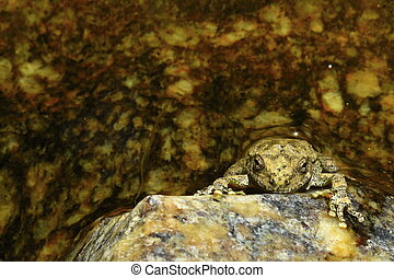 Sonoran Canyon Tree Frog in a Creek.