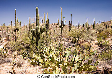 The lush foliage of the Sonoran desert belies the harsh arid climate of the Southwest USA.