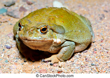 Sonoran Desert Toad 2 - The giant Sonoran Desert Toad. This...