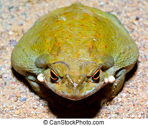 Sonoran Desert Toad 3 - The giant Sonoran Desert Toad. This...