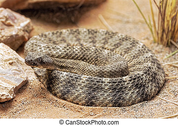 sonoran, méxico central, arizona, serpiente de cascabel, ...