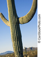 Classic saguaro cactus. Photographed with a specialty lens that limits depth of focus and focus itself-however there are (limited) sharp elements.