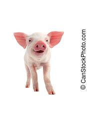 sonrisa, cerdo