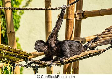 soort, aap, aap, zwarte-aangevoerde, spin, ateles, fusciceps