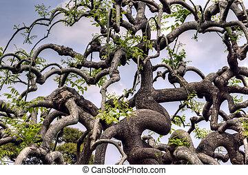 Sophora japonica var. pendula (Weeping Japanese pagoda tree...