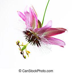 sopra, fiore, passiflora, bianco