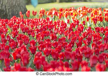 'Sorbet' tulip