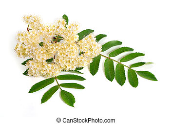 Sorbus aucuparia flowers isolated on white background