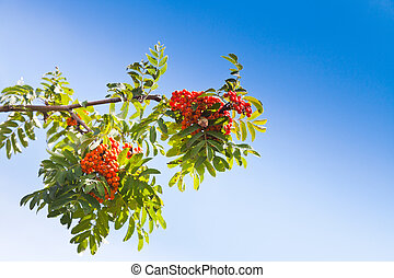 Sorbus branch with rowanberry under blue sky