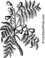 Sorbus domestica or Service Tree vintage engraving