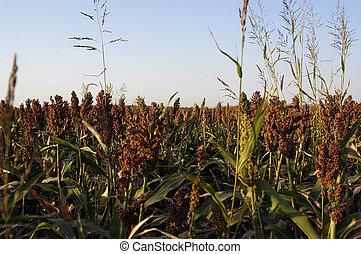 Sorghum Field - A sorghum field in rural Oklahoma.