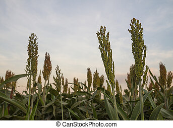 Sorghum in field