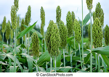 Sorghum or Millet field
