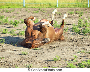 sorrel arabian horse in paddock