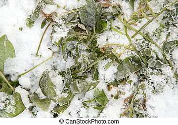 sorrel leaves in the snow
