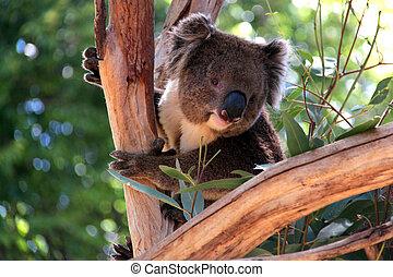sorrindo, koala, em, um, árvore eucalipto, adelaide,...