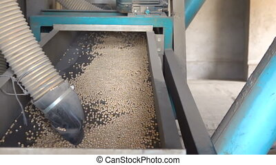 Sorting pea seed on the elevator - Sorting seman peas on the...