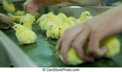 Sorting Small chicks in Factory