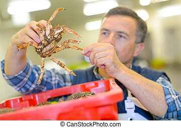 sorting the crabs