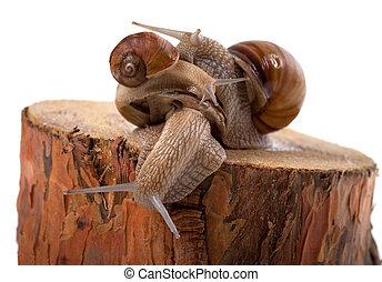 souche, sommet, arbre, pin, une, autre, escargots