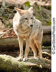 souche, stands, regarder, proie, animal, sauvage, coyote