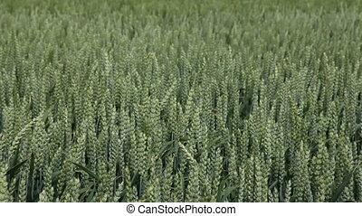 souffler, blé, vent