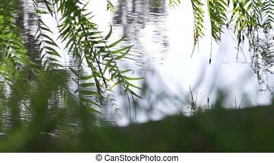 souffler, branches, saule pleureur, arbre, feuilles, -, eau, arrière-plan vert, lumière, toucher, fort, vent