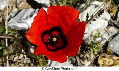 souffler, fleur, vent, rouges