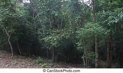 Sounds of howler monkeys in the National Park Tikal,...