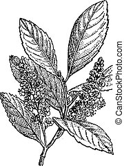 Sour Cherry or Prunus cerasus, vintage engraving - Sour...