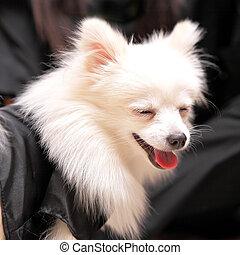 sourire, chien, pomeranian