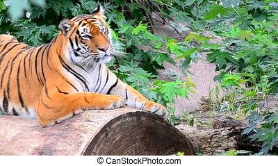 sourire, tiger.