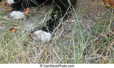 souris, gris, noir, yard, jeux, chat, blanc, herbe verte, ...