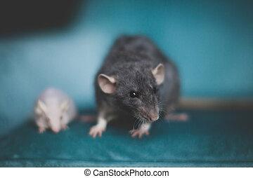 souris, rat, chauve, laboratoire, blanc, gris, pelucheux