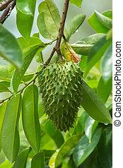 Soursop fruit on tree.