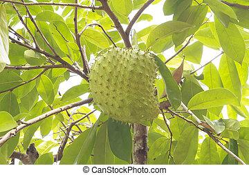 Soursop or Guanabana - Soursop or prickly custard apple or...