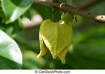 Soursop or Prickly Custard Apple flower. (Annona muricata...