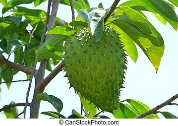 Soursop, Prickly Custard Apple. (Annona muricata L.)...