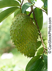 Soursop, Prickly Custard Apple. (Annona muricata L.)
