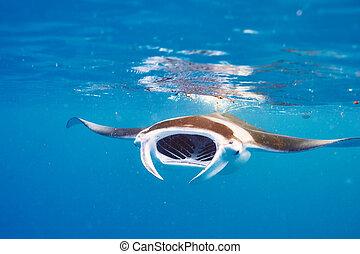 sous-marin, flotter, manta rayon