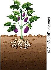 souterrain, plante, racine, aubergine